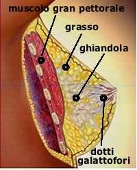 composizione mammella